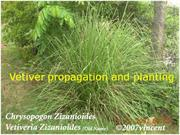 Vetiver propagation and planting