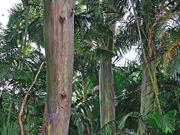 Rainbow Eucalyptus