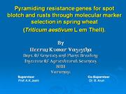 pyramiding resistance genes for spot blotch and rusts through mas
