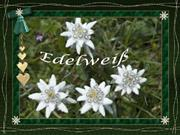 edelweiss
