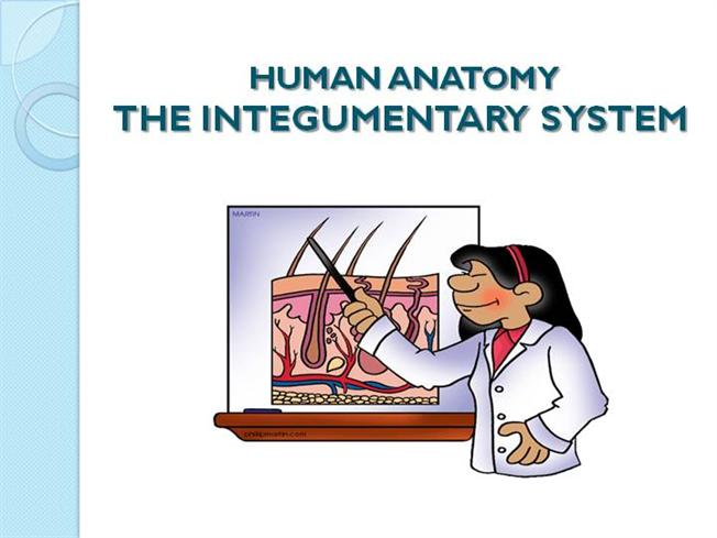 Introduction To Integumentary System Authorstream