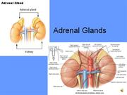 8_Adrenal_Glands