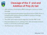 Poly a-tail