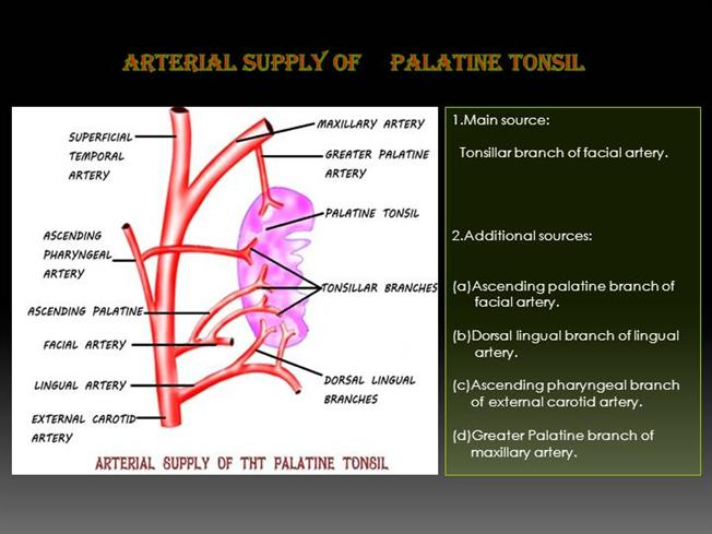 Arterial Supply And Lymphatic Drainage Of Tonsil Authorstream