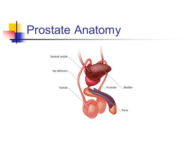 Prostate Authorstream
