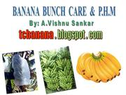 Banana bunch care and Post Harvest Management
