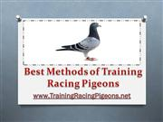 Best Methods of Training Racing Pigeons
