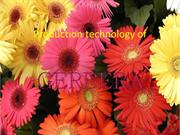 Production technology of gerbera