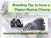 Breeding Tips to have a Racing Pigeon Champ