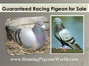 Guaranteed Racing Pigeon For Sale