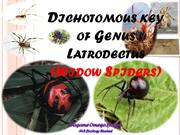 Dichotomous key of Genus Latrodectus (Widow Spiders