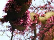 La Vie En Rose - Beauty of Judas Tree
