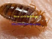 New york bed bugs