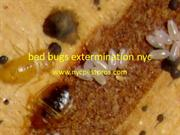 Bed Bugs Extermination Nyc