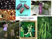 Phaselus vulgaris production