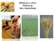 wheat sobhi