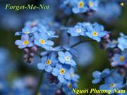 Forget-Me-Not - Nguoi Phuong Nam (Short Version)