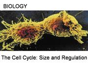 The_Cell_Cycle_Size_and_Regulation[1]