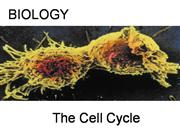 The_Cell_Cycle[1]