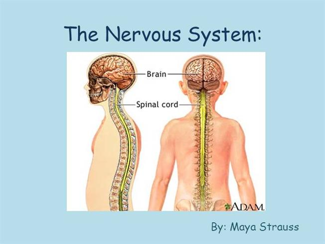 The Nervous System |authorSTREAM