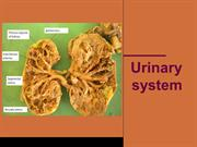 Urinary system Histology