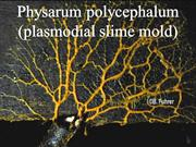 Slime mold presentation