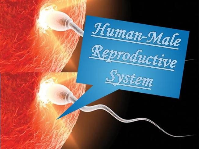 HUMAN-MALE REPRODUCTIVE SYSTEM |authorSTREAM