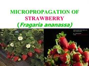 micropropagation of strawberry