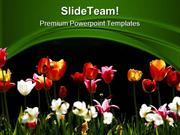 Tulips_Beauty_PowerPoint_Templates_And_PowerPoint_Backgrounds_ppt_them