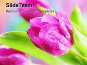Pink Tulips Beauty PowerPoint Templates And PowerPoint Backgrounds ppt