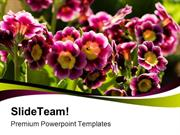Primroses Flowers Nature PowerPoint Templates And PowerPoint Backgroun