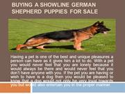 Buying a Showline German Shepherd Puppies for Sale