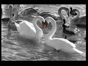 The beautiful swan_f