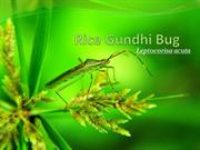 Rice Gundhi Bug