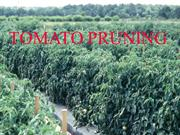Tomato Pruning and Staking March 2013