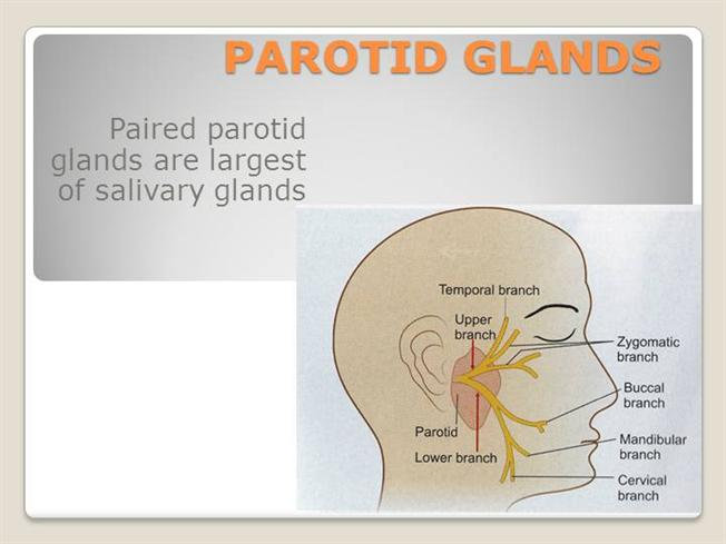 PAROTID ANATOMY & SURGER |authorSTREAM
