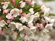 Flori de mar (Apple blooming)