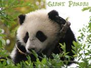 Giant Pandas, cutest animals on Earth !