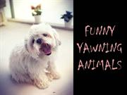 Funny Yawning Animals