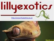 Female crested geckos for sale| Gargoyle gecko| Lilly Exotics