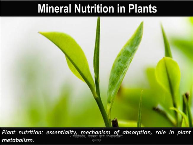 Mineral Nutrition In Plants Authorstream