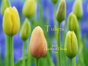 1-Flowers-Tulips-Garden of Dream