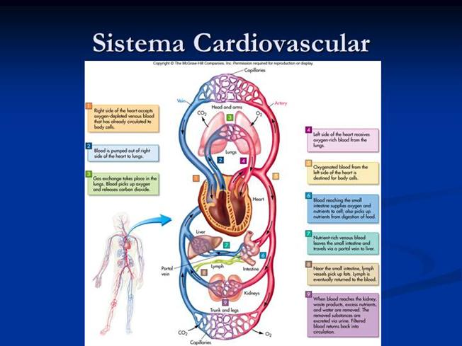 Sistema Cardiovascular |authorSTREAM