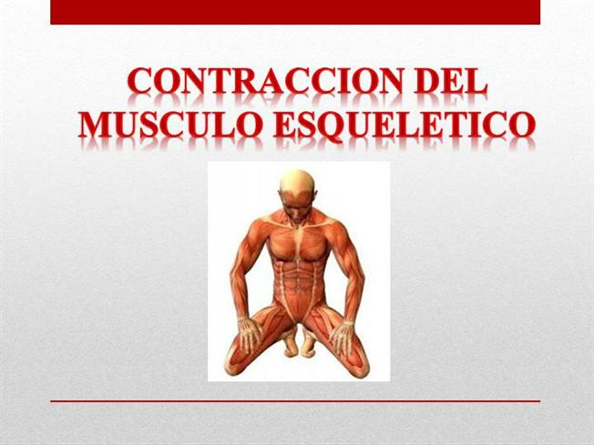 FISIOLOGIA CONTRACCION MUSCULO ESQUELETICO |authorSTREAM