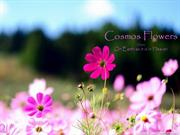1-Flowers-Cosmos Flower