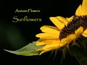 1-Autumn Flowers-1-Sunflower
