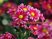 1-Autumn Flowers-3-Chrysanthemums-2