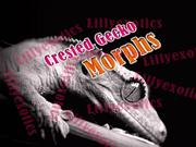 Extreme Crested Gecko Morphs, LillyExotics