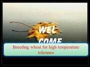 BREEDING WHEAT FOR HIGH TEMPERATURE TOLERANCE
