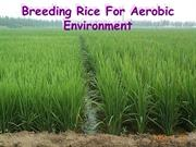Breeding Rice For Aerobic Environment